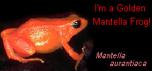 I'm a Golden Mantella Frog!