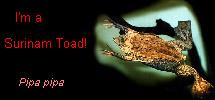 I'm a Surinam Toad!